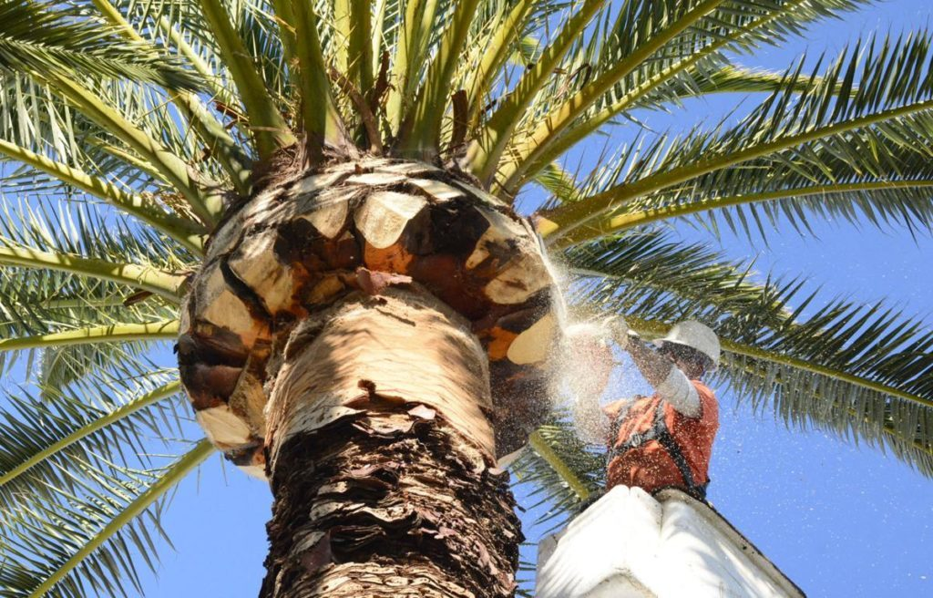 Palm Tree Trimming and Removal-Tallahassee Tree Trimming and Stump Grinding Services-We Offer Tree Trimming Services, Tree Removal, Tree Pruning, Tree Cutting, Residential and Commercial Tree Trimming Services, Storm Damage, Emergency Tree Removal, Land Clearing, Tree Companies, Tree Care Service, Stump Grinding, and we're the Best Tree Trimming Company Near You Guaranteed!